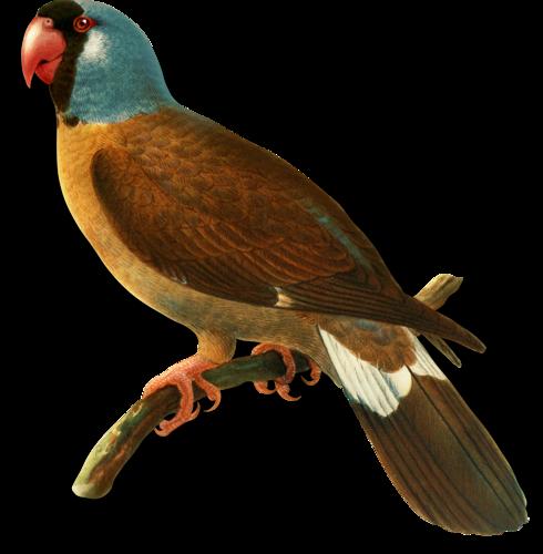 oiseaux,birds,png,fowl,ave,galinha,