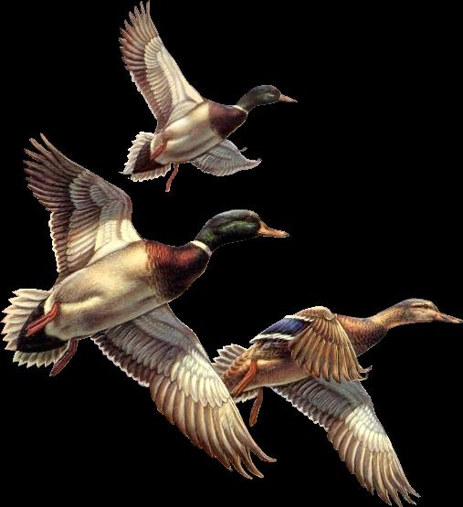 canards mallard duck clipart vector file mallard duck clip art images