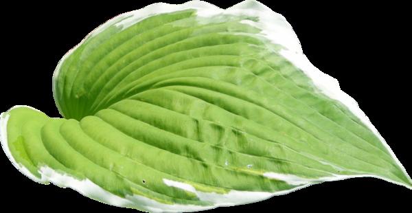 feuilles,png