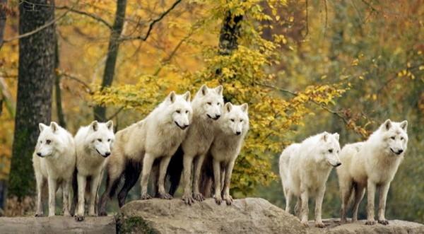 Les loups Ba74a74f