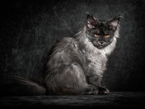 chatons,chats,cat,gato,Katze,katter,kettir,cait,